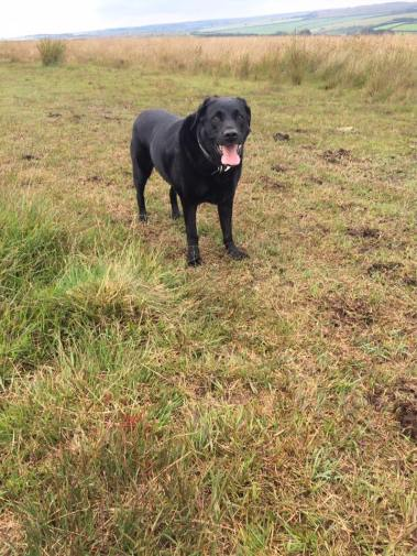 18 Charlotte Pounds This is a photo of my 12.5 year old lab Oswald on the top of Exmoor near Molland this afternoon.