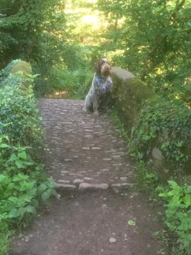 21 Catherine Gill Rocco the Italian Spinone on the Pack Horse Bridge at Horner