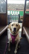 25 Megan Marshall My Labrador preparing for her first trip on the Lynton Cliff Railway!