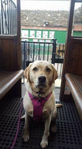 25 Megan Marshall My Labrador preparing for her first trip on the Lynton Cliff Railway!