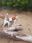 36 Deborah Edwards Nala and Loki enjoying Minehead beach.