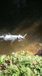 43 Russ Summersgill Toby loves a swim