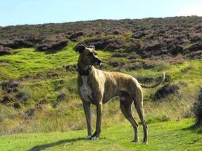 88 Mark Williams Bracken the bull lurcher posing as per usual.