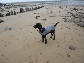 89 Martin Chambers Toby on Dunster Beach!