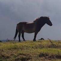 On the moors above Minehead #exmoor #exmoornationalpark #exmoorpony #exmoorponies #pony #horseriding #somerset 📷: @phil.briers