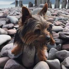 Climbing over the pebbles at Porlock weir. #fritzthedog #mrfritz #summerset #exmoor #beach 📷: @mrfritztheyorkie