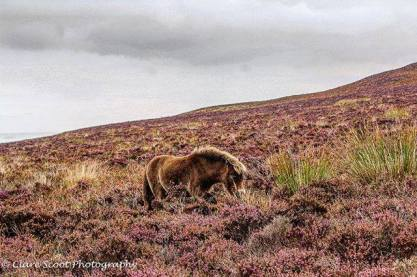 Lucky enough to get close to some beautiful wildlife when we visited Exmoor! These ponies are so calm and gentle - nothing phases them 🐴 . . #clarescootphotography #tedwcs #exmoor #exmoorpony #exmoorponies #adventureswithtedwcs #photography #photographer #exmoornationalpark #heather #moors #exmoormoors #workingcocker #workingcockerspaniel #workingcockerspanielofinstagram #workingdog #cocker #cockerlove #cockerspaniel #cockerspanielsofinstagram #goldencocker #lemoncockerspaniel #mydogisthebest #dogsofinstagram #dogphotography #adventuring #staycation #mylittlemonster 📷: @cs_photography_16
