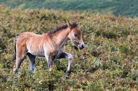 #Exmoor #pony #equestrian #foal #poniesofinstagram #icu_animals #pocket_horses #picture_to_keep #nature_brilliance #rsa_rural 📷: @old_thumper