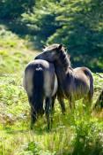 0809-001 Pauly Allen Exmoor Ponies