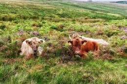 0817-013 Linda Thompson Highland Cattle