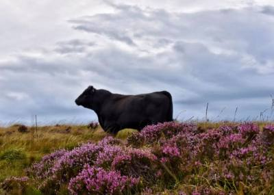 0817-014 Linda Thompson Highland Cattle