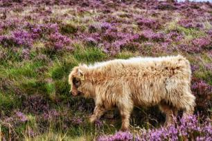 0817-015 Linda Thompson Highland Cattle