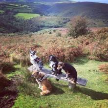Dunkery beacon. #dog #dogs #dogsofig #dogsofinsta #dogsofinstaworld #dogstagram #collie #collies #welshcollie #bordercollie #bordercollies #bordercolliesofinstagram #dogsonadventures #exmoor #dunkerybeacon 📷: @colliecollective