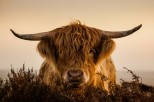 Highland Cow by John Spurr
