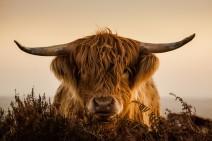 Highland Cow by John Spurr