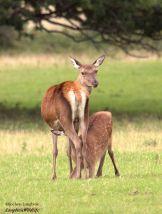 0914 Jochen Langbein Red deer in September. Bambi- Look How I've grown