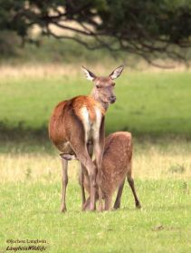 0914 Jochen Langbein Red deer in September. Bambi- Look How I've grown
