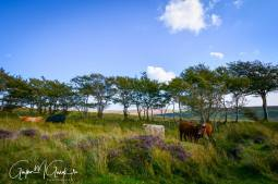 0915 Gaynor Gough Cows grazing amongst the heather