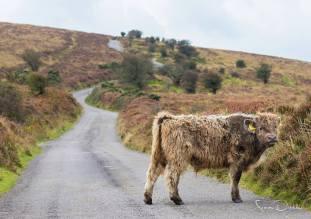 0917 SImon Dibble Steer Calf