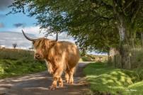 0918 Julie Thomas Highland Cow