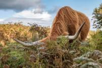 0922 Julie Thomas Highland Cow