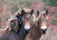0927 SImon Dibble Exmoor Ponies