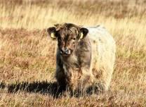 0930 Ed Browning Highland calf