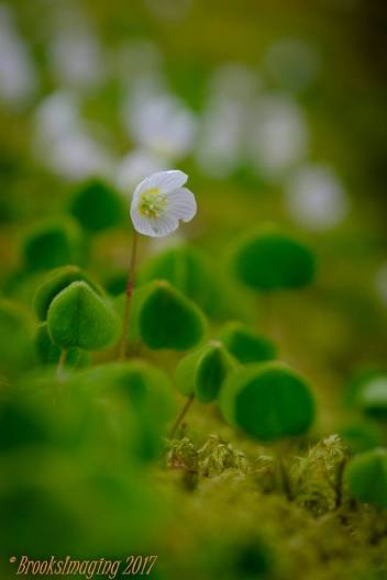 Wood Sorrel. Came across a log covered in these tiny but very pretty plants nr. Tarr Steps