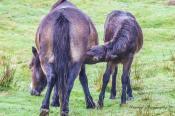 Donna Cox Alsoomse Exmoor Pony 1