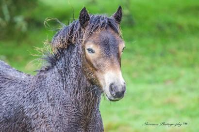Donna Cox Alsoomse Exmoor Pony 2