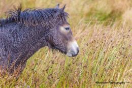 Donna Cox Alsoomse Exmoor Pony 3