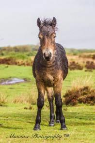 Donna Cox Alsoomse Exmoor Pony 4