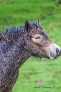 Donna Cox Alsoomse Exmoor Pony 8
