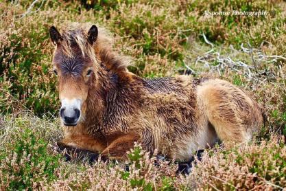 Donna Cox Alsoomse Exmoor Pony 01