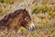 Donna Cox Alsoomse Exmoor Pony 02