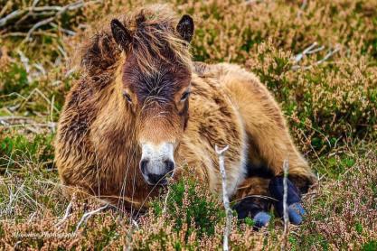 Donna Cox Alsoomse Exmoor Pony 03
