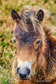 Donna Cox Alsoomse Exmoor Pony 04