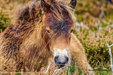 Donna Cox Alsoomse Exmoor Pony 05