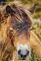 Donna Cox Alsoomse Exmoor Pony 06