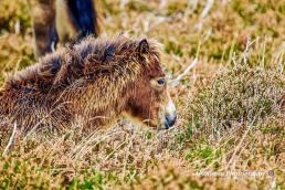Donna Cox Alsoomse Exmoor Pony 07